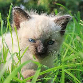 Misty's Day by Tammy Jones Perdue - Animals - Cats Kittens ( kitten, persian, blue eyes, cute )
