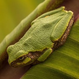 georgeous in green by Scott Fishman - Animals Amphibians ( butterfly, frog, powell gardens )