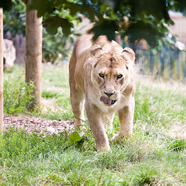 by Joe White - Animals Lions, Tigers & Big Cats (  )