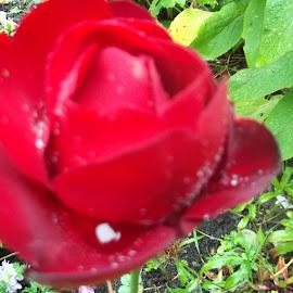 rose red by Julie Jones - Abstract Macro (  )