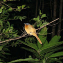 Madagascar paradise fly catcher