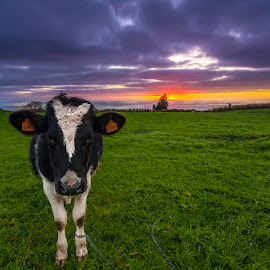 Cow by Manuel Oliveira - Landscapes Prairies, Meadows & Fields ( canon, cow, landscape, azores )
