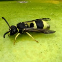 European Tube Wasp