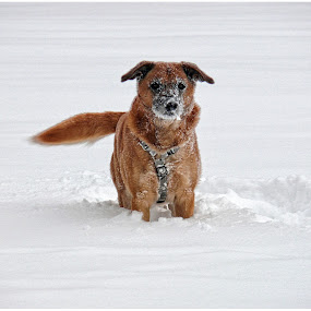 Dog loves to play in the snow by Doreen L - Animals - Dogs Playing (  )
