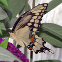 Eastern Giant Swallowtail