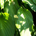 Butterfly on Hosta