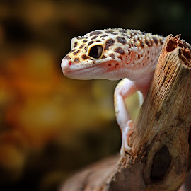 Leopard gecko by Dikky Oesin - Animals Reptiles ( tame, lizard, gecko, pet, background, reptile, small )