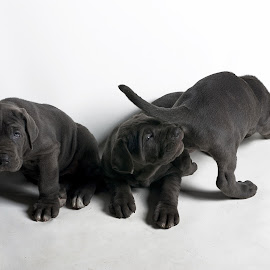 Brothers by Andrea Diaz-Perezache - Animals - Dogs Puppies ( mastin napolitano, dogs, pupies,  )