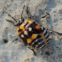 Harlequin Bug (nymph)