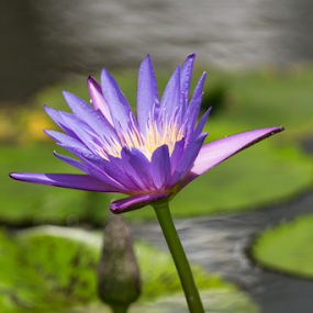 PURPLE BEAUTY by Frank Photography - Flowers Single Flower ( waterlily, purple, lake, beauty, singapore )