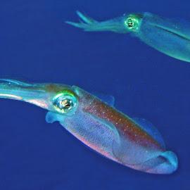 Cuttle Fish by Tiffany Taylor - Animals Fish (  )