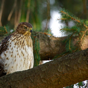 Intensity by Larry Kaasa - Animals Birds ( bird, coopers hawk, raptor, animal, hawk )