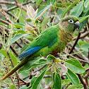 Tiriba-de-Testa-Vermelha (Maroon-bellied Parakeet)