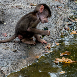 little one by Patrick Mous - Novices Only Wildlife ( aapje, aap, dutch, baby, monkey )