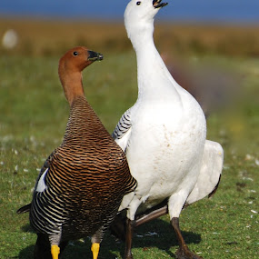 upland Geese by Janet Rose - Novices Only Wildlife