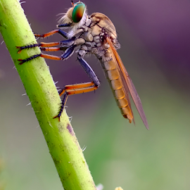 Enjoy the morning by Alfian Hangga Diputra - Animals Insects & Spiders ( #nature, #roberfly )