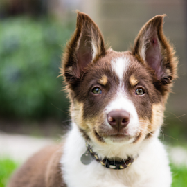 Puppy ears by Karen Havenaar - Animals - Dogs Puppies ( border collie, sweet, pet, puppy, red tri, dog, iggy, cute, domestic )