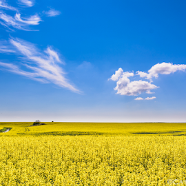 Canola fields by Catalin-Adrian Neacsu - Landscapes Prairies, Meadows & Fields ( clouds, blue sky, canola, fields )