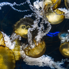 Pacific Sea Nettles by Sara Ascalon - Animals Sea Creatures ( water, sea creatures, pacific sea nettles, floating, sea nettles, tentacles, invertebrates, jellyfish )