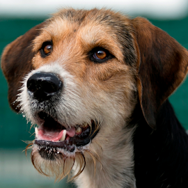Rampant by Nina Edminson - Animals - Dogs Portraits ( canine, fox hound, hound, working hound, dog, portrait, animal )
