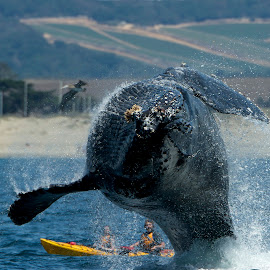 Humpback Whale breaching by Wade Tregaskis - Animals Sea Creatures ( humpback, kayakers, breaching, kayak, whale )