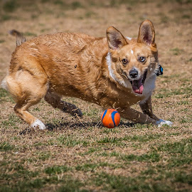 Ball Time by Ron Meyers - Animals - Dogs Playing
