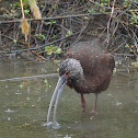 White-faced Ibis (non-breeding)