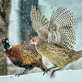 Pheasants in Snow by Sheen Deis - Animals Birds ( flight, snow, pheasants, wild birds, birds in flight, , bird, fly )