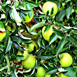 Greenapple by Teiana Bourdon - Nature Up Close Gardens & Produce ( apple, fall, green apple,  )