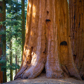 Sequoia Redwoods by Richard Duerksen - Nature Up Close Trees & Bushes ( bark, sequoia, redwood, exeter )