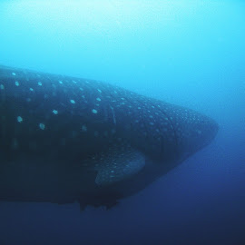 Gliding Giant by Phil Bear - Animals Fish ( underwater, fish, whale shark, galapagos, shark, whale, giant )