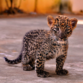 The Lost Cub 2 by Abhinav Ganorkar - Animals Lions, Tigers & Big Cats ( wild, animals, wildlife, cub, leopard,  )