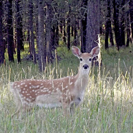 Spotted Beauty by Vicki Strickland - Novices Only Wildlife ( black hills sd, bambi, lead sd, wildlife, deer )
