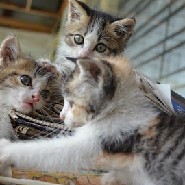 Happy kittens by Tauhid Sahadat - Animals - Cats Playing