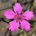 Pink; Clavelito