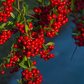 Winter berries by Christopher Fenning - Nature Up Close Other plants ( red berries, red and green, red, green, christmas berries, berries )