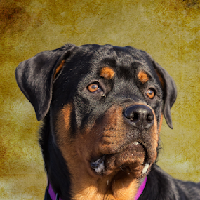 Kong by Bill Tiepelman - Animals - Dogs Portraits ( pose, collar, brown, dog, domestic, black, animal, rottweiler )