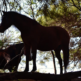 by Silke Jordaan - Novices Only Pets ( natural light, silhouette, horse, trees, woods )