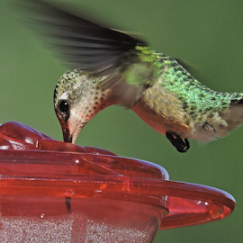 Beauty at the Feeder II by Shyamala Rao - Animals Birds ( bird, hummingbird, nectar, black chinned hummingbird )
