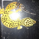 High yellow Leopard gecko morph