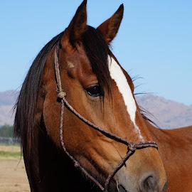 Dude by Michelle du Plooy - Animals Horses ( equine, horse, clydesdale, thoroughbred, gelding )