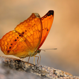 Butterfly by Manas Paran - Animals Other ( butterfly, assam, nature, paran, india, manas, guwahati, photography, animal, butterfy )