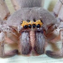 Giant Grey Huntsman Spider