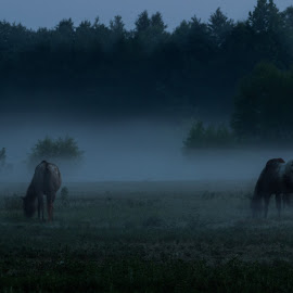 Horses in The Mist by Ally Short - Animals Horses ( nature, horses, landscape, misty, animal )