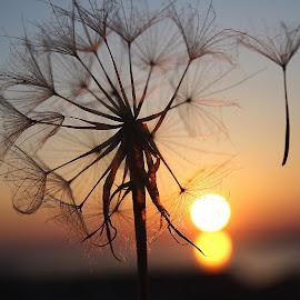 Sunset by Svetlana Micic - Nature Up Close Other plants ( nature, dandelion, sunset, landscape, sun )