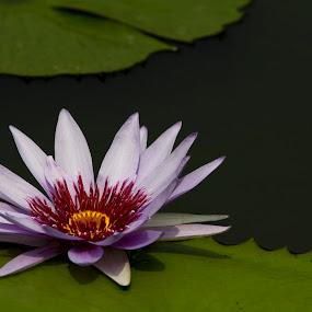 WHITE LOTUS by Monish Kumar - Flowers Single Flower (  )