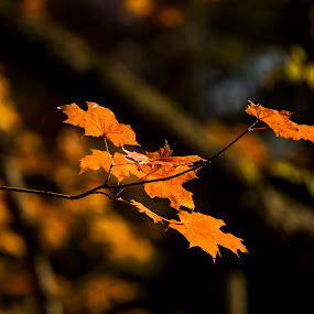 Fall is a second spring when every leaf is a flower. by Rajeev Krishnan - Nature Up Close Leaves & Grasses ( fall leaves, fall colors, nature, fall, nature up close, color, colorful,  )