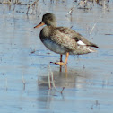 Gadwall Duck (female)