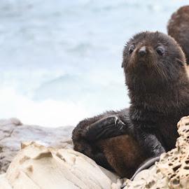 seal by Inbal Rubin - Animals Sea Creatures ( animals photography, water, wild, animals, sea, wildlife, travel, kaikoura, photography, new zealand, seals, nature, seal, rocks, travel photography, animal )