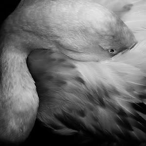 flamingo bw.jpg